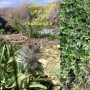 گیاه کاکوتی سه